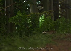 das / badger (nature photography by 3620ronny.be) Tags: canon belgium belgie badger das maas bos maaskant limburg maasland bladeren dassenburcht canonspeedlite430ex canon7d 3620ronny canonef300mmlf4