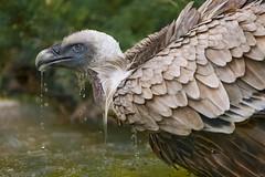 Dropping vulture (Tambako the Jaguar) Tags: france bird water zoo drops nikon bath profile gray beak vulture lorraine griffon d4 dropping amnéville