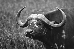 Water Buffalo (ejpphotography) Tags: africa portrait blackandwhite hairy white black blancoynegro blanco water beautiful animal buffalo kenya african negro safari powerful kenyan
