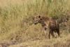 Spotted Hyena (ABennour0827) Tags: africa kenya safari masaimara 1dx