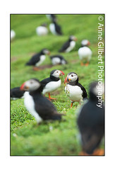 Gathering (Winterspeak) Tags: park uk red sea summer portrait white black cute bird nature birds yellow vertical wales fauna standing island photography anne coast countryside bill focus europe soft adult natural nest britain background south united country great cymru large july reserve kingdom nobody atlantic coastal national gathering puffin gilbert remote material summertime puffins upright adults pembrokeshire isolated striped collecting seabird seabirds 2012 nesting selective stood plumage arctica fratercula ynys auk skokholm stocky congregating sgogwm sgocholm