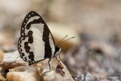 Caleta roxus pothus (Straight Pierrot) (Kawsy) Tags: park macro nature butterfly thailand nikon butterflies national straight pierrot krabi caleta nikkor105 d700 sb900 pothus roxus tc20iii