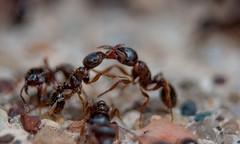 Ants in combat