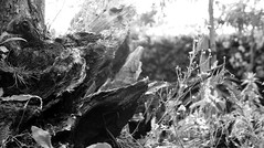 Arundel Castle, Hampshire UK. (Los Dave) Tags: wood trees blackandwhite bw sculpture white black rot monochrome garden dead grey decay gray roots