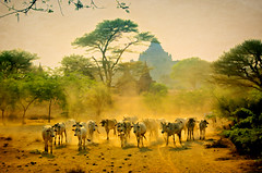 Returning From Pasture 5 (Artypixall) Tags: texture pagoda cattle dusk burma getty myanmar dust herd bagan herder