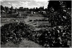 Volkstuintje (bertjebert) Tags: blackandwhite dog monochrome vegetables garden belgium groenten volkstuintje herentals nikond800