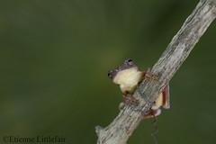 Mahogany treefrog (Etienne Littlefair Photography) Tags: mexico amphibian frog jolie treefrog