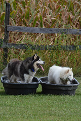 """Even While They Are Cooling Off In These Tubs They Can Still See All The Action As it Plays Out On The Mazing Chase Course • <a style=""""font-size:0.8em;"""" href=""""http://www.flickr.com/photos/96196263@N07/9867924996/"""" target=""""_blank"""">View on Flickr</a>"""