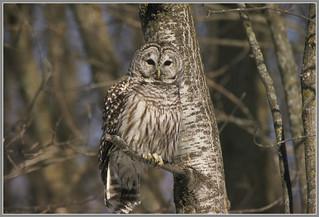 {Barred Owl Cameo}