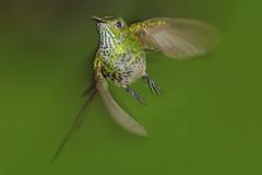 Colibr XXVII (Jos M. Arboleda) Tags: bird canon eos colombia hummingbird jose ave 5d colibr arboleda markiii trochilidae coconuco apodiforme mygearandme josmarboledac blinkagain ef400mmf56lusm14x troquilinos
