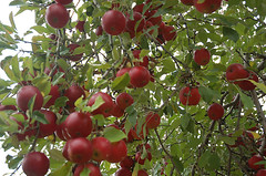 "Jonathan Apples on Tree <a style=""margin-left:10px; font-size:0.8em;"" href=""http://www.flickr.com/photos/91915217@N00/10302900574/"" target=""_blank"">@flickr</a>"