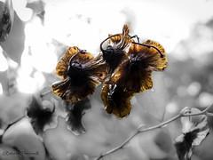 Autumn in love... (ROBRAS 2000 ) Tags: closeup colore arte natura semi roberto anima autunno colori amore bianconero fotografica ottobre esperienza secchi afotando coloreselettivo robras2000 robertocinganelli