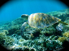 tortle lady musgrave island (bastlabrit) Tags: sea water lady island turtle great under australia seventy queensland barrier reef australie seventeen misgave