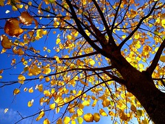 Indian summer (PeterCH51) Tags: blue autumn sky brown tree leaves yellow gold schweiz switzerland colours autumncolours chur colourful indiansummer iphone autumngold 5photosaday mywinners flickraward peterch51 flickrtravelaward