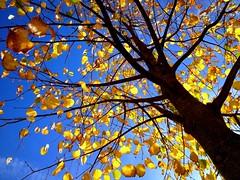 Indian summer (PeterCH51) Tags: blue autumn sky brown tree leaves yellow gold schweiz switzerland colours autumncolours chur colourful indiansummer iphone autumngold 5photosaday mywinners flickraward peterch51 flickrtravelaward