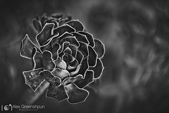 Wild Heart (alexgphoto) Tags: autumn light summer cactus blackandwhite bw plant flower nature monochrome beauty composition canon season petals flora dof natural bokeh geometry naturallight symmetry m42 openning helios aeonium openness schwarzkopf arboreum helios442 bokehlicious canon60d bokehoftheday