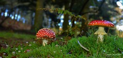 Fly Agaric (Alan Woodgate) Tags: