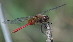 red-tailed pennant (explored 11/13/2013) (robert salinas) Tags: dragonflies a57 odonates