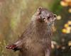 European Otter ♀ (Lutra lutra lutra) (Dave N Roach) Tags: europeanotter lutralutralutra highlandwildlifeparkkingcraiginvernessshirescotland