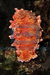2009-11 HERBLAND MARTINIQUE SLIMY DORIS DENDRODORIS KREBSII 9989