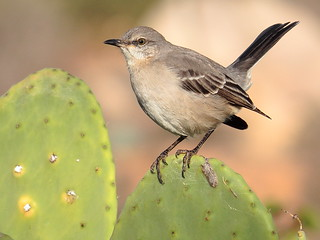 Northern mockingbird_11_23_13_Ramona Ca 056