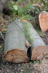 Castrate (TomikoPL) Tags: wood las tree forest denmark woods cut trunk danmark eunuch dania drzewo castrate drewno hareskov pie kastrat