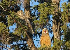 Great Horned Owls...#8 (Guy Lichter Photography - Thank you for 2.5M views) Tags: canada bird birds animal animals canon winnipeg wildlife manitoba owls assiniboinepark owlet canon14xteleconverter owlgreathorned canonef400mmf56l avianexcellence 5d3 birdperfect assiniboineparkgardens amazingwildlifephotography
