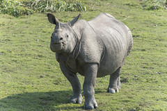 ASM-081 Indian One-Horned Rhinoceros, Kaziranga (FO Travel) Tags: india asia asien north east remote asie assam northeast indien isolated inde isol nordest entfernt isoliert loign bagori nordstlich