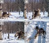 "a-digital-camera-trap-captured-the-first-photos-of-a-golden-eagle-attacking-a-young-sika-deer-in-southern-russia-the-camera-trap-was-originally-set-up-by-the-zoological-society-of-london-and-the-wildlife-conservation-so • <a style=""font-size:0.8em;"" href=""http://www.flickr.com/photos/109202782@N04/11510994586/"" target=""_blank"">View on Flickr</a>"