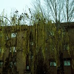 Tree by the apartment building thumbnail