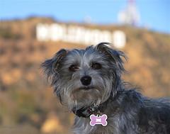 Diva Dog (newagecrap) Tags: california bokeh canine terrier socal moviestar southerncalifornia hollywoodsign hollywoodhills branmuffin famousdog terriermix hollywoodportrait brandidog bokehexample nikond5100 newagecrapphotography brandimagee