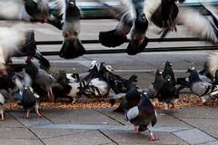 Everyone for Himself (Niels A) Tags: street copenhagen pigeons