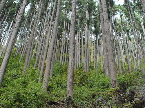 Japanese Cedar Forest, Okutama, Tokyo