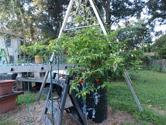 red habanero pepper planet and a 36 inch diameter garden with 75 Chinese long beans and 6 tomato vines plants (square foot hydroponics) Tags: flowers plants orchid flower macro tree green garden gardening systems vegetable hydro growing sustainability floss hydroponics hydroponic hydroculture urbanagriculture hydropond wwwsqfoothydrocom squarefoothydroponics