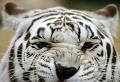 Funny Tiger Faces - Akbar (International Exotic Animal Sanctuary) Tags: white animal teeth tiger international exotic bengal sanctuary ieas