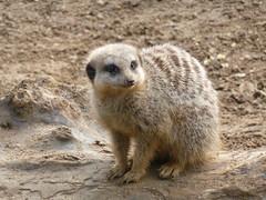 Meerkat, 2014 Feb 20 -- photo 5 (Dunnock_D) Tags: uk england zoo meerkat unitedkingdom britain chester