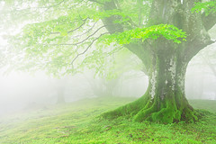 (Mimadeo) Tags: morning trees light sunlight mist tree green nature wet leaves horizontal misty fog mystery forest landscape leaf spring haze branch natural magic foggy foliage fairy fantasy bark ethereal mysterious trunk mystical hazy magical beech