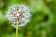 dandelion (pixSullivan) Tags: summer green closeup weeds blow dandelion wish wispy floaties puffball allergies hayfever makeawish