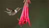 Volcano Hummingbird (Raymond J Barlow) Tags: travel pink flower bird costarica hummingbird wildlife flight adventure birdinflight raymondbarlow raymondbarlowtours