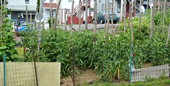 Summer Vegetable Garden 2014 (di_the_huntress) Tags: summer vegetables backyard tomatoes neighborhood homegrown picmonkey:app=editor