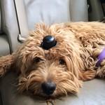 Sandy's (retired mom) Past F1b mini Puppies !