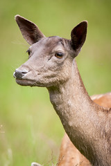 2014-06-21-14h26m28.272P6313 (A.J. Haverkamp) Tags: reddeer wildpark cervuselaphus edelhert develuwe canonef14xiiextender hetaardhuis httpwwwaardhuisnl canonef500mmf4lisiiusmlens