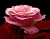 _red passion_ (* landscape photographer *) Tags: italy macro europe rosa natura fiori rosso bellezza passione lucania profumo nikond90 salvyitaly