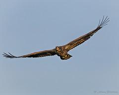 American Bald Eagle--11 (j.strome) Tags: americanbaldeagle