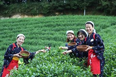 Ladies dressed in the Chamusume and our tea picking event (Obubu Tea Farms) Tags: chamusume harvest obubu teapicking