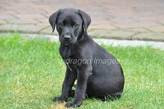aaaw cute (Snapdragon Lincs) Tags: retriever puppy dog pet black labrador cute working sweet innocent young sitting