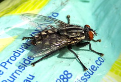 Robber fly (ALIKE) - Spring 2016 (nicephotog) Tags: fly robber parasitic closeup