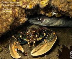 """Fauna pecio """"Scotland"""" (jaime.rodriguezmorante) Tags: santander cantabria mar cantbrico mourosub pecio underwater underwaterphotography animals"""