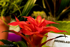 Award Winning Bloom at the Fair 0806 Copyrighted (Tjerger) Tags: nature award bloom floral flower green orange petals plant statefair summer winning wisconsin yellow