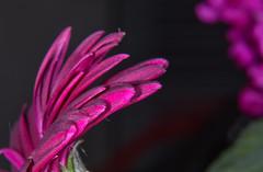flower4 (Debbie Deboo) Tags: flower macro closeup petals stamens purple